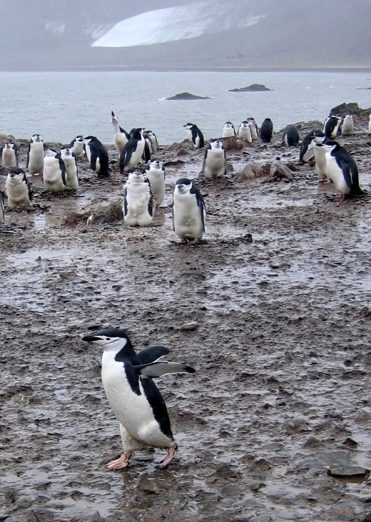 antarctica_chinstrap penguins