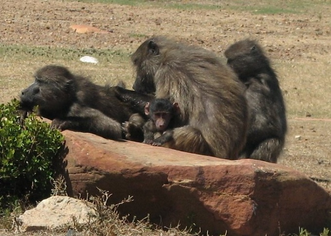 collective_flange of  baboons