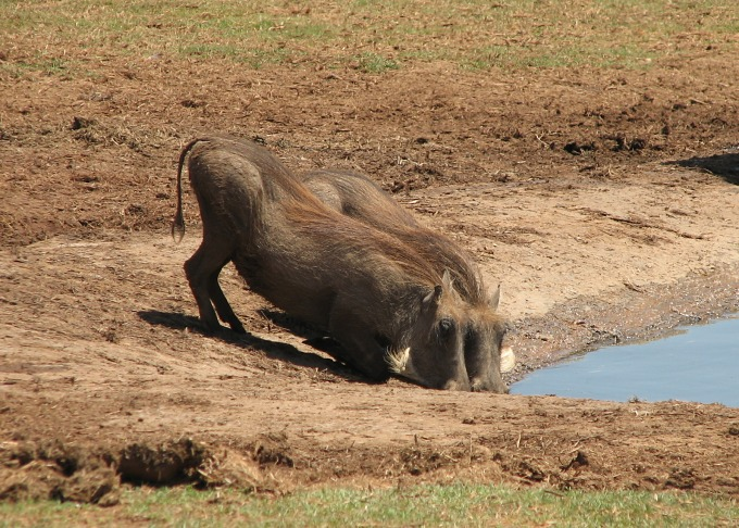 collective_homeliness of warthogs