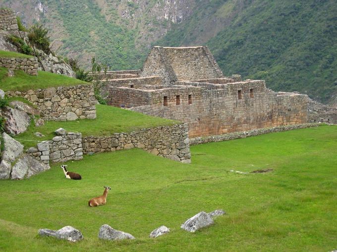 Llama grazing