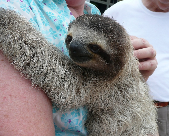 pippin the sloth
