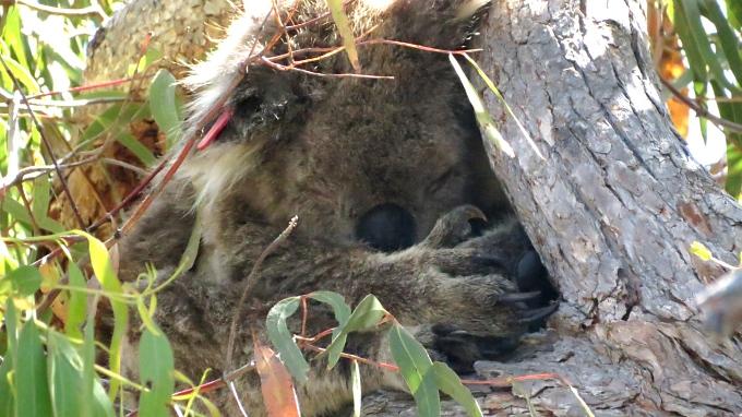 koala napping