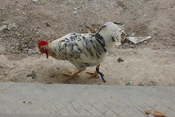 senor gallo