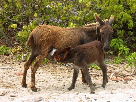 wild donkey at grand turk