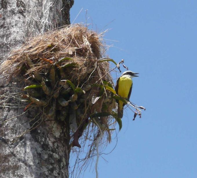 kiskadee nest