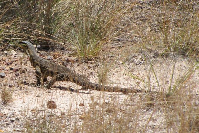 goanna lizard in australia