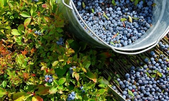 mount desert blueberries