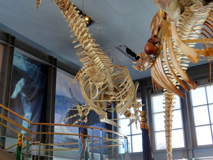 whale skeletons