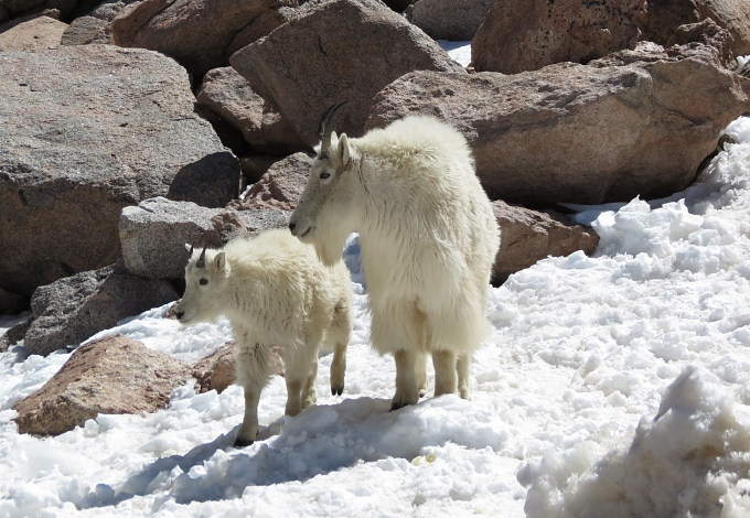 mt. evans mountain goats