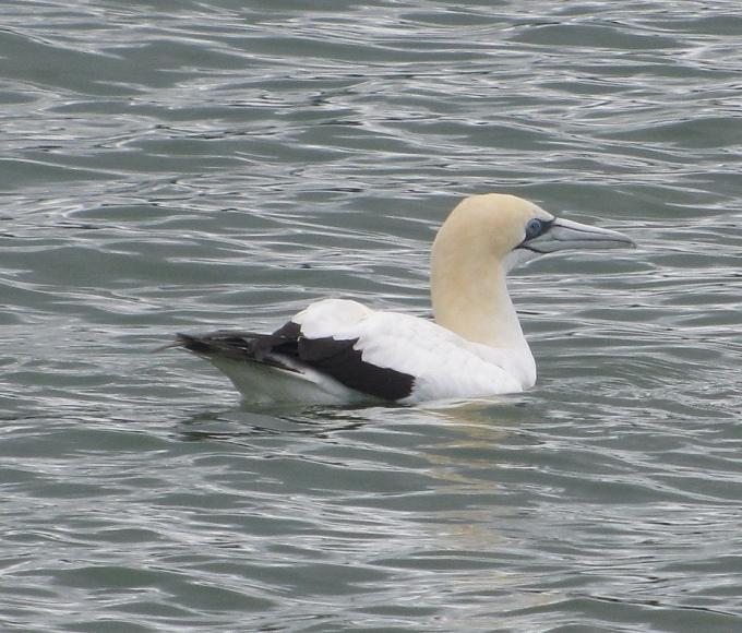 gannet floating