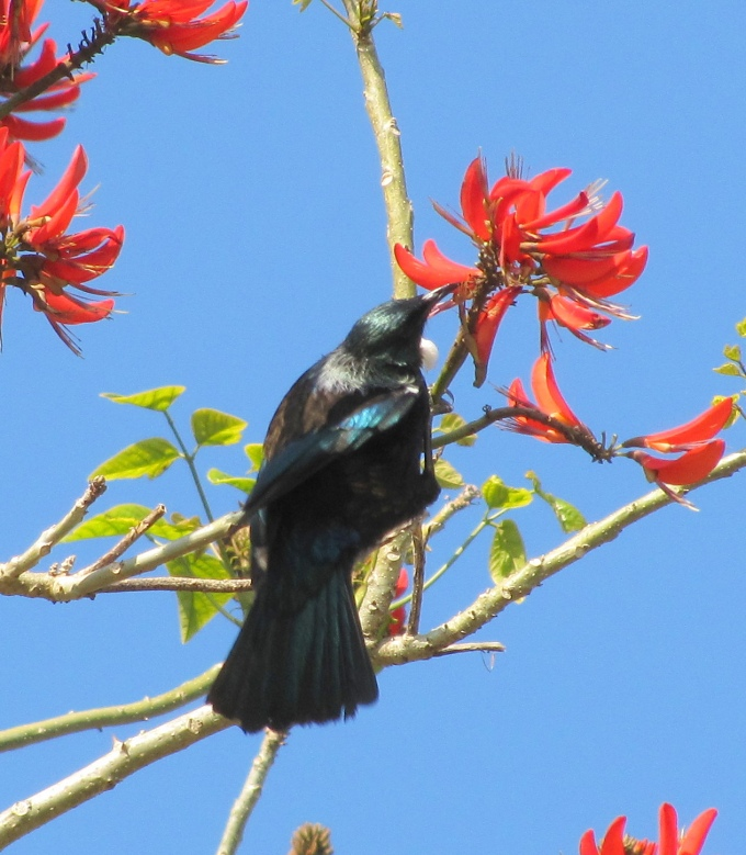 tui bird in a coral tree