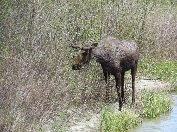 moose browsing