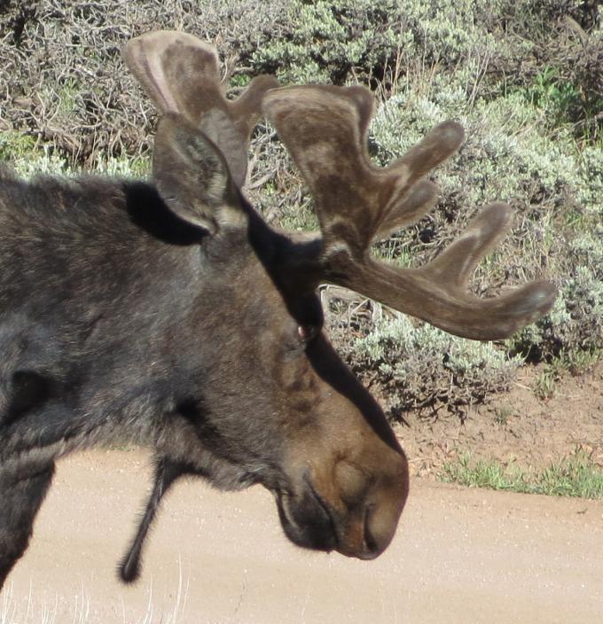 moose bell