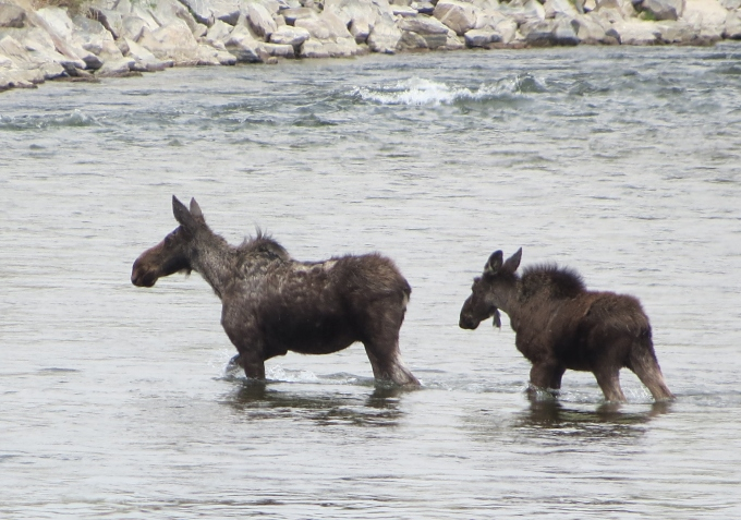 moose cow and calf crossing a stream