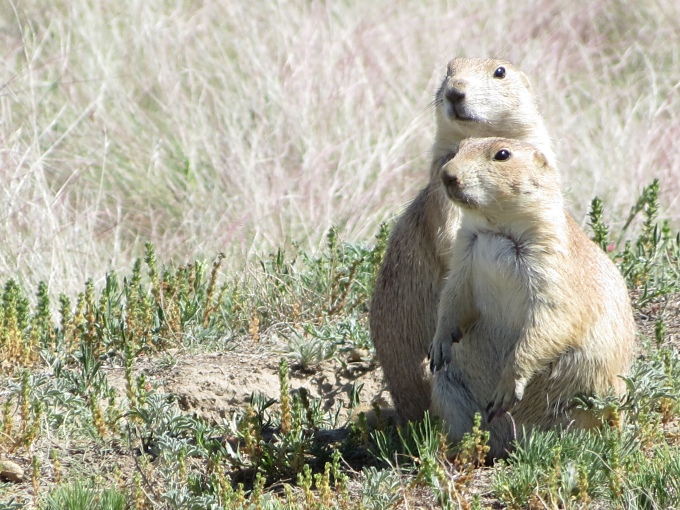 prairie dog buddies