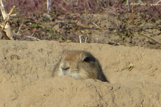 prairie dog peeking
