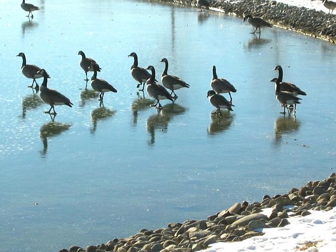 iceskating geese