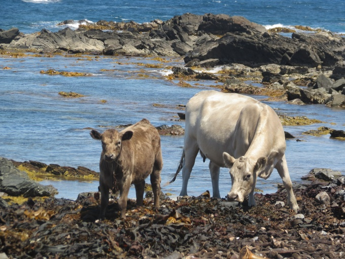 kelp and cows