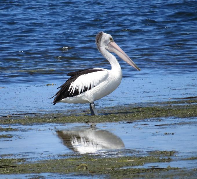 american river pelican