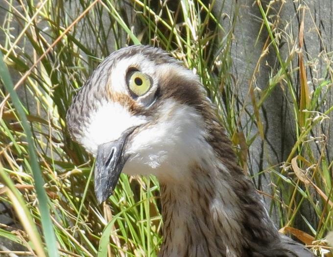 cleland bird