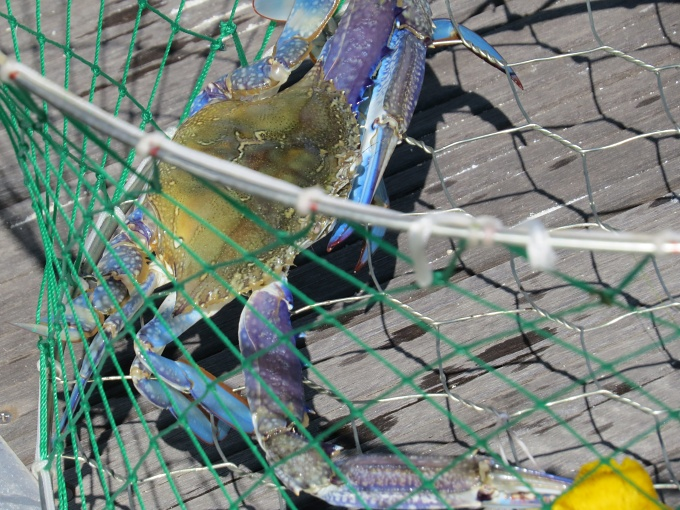 blue swimmer in the net