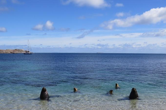 curious sea lions