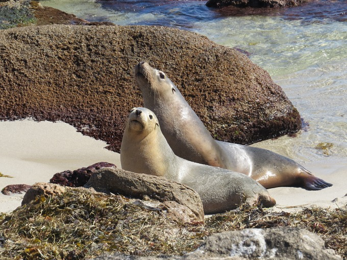 sea lion pair
