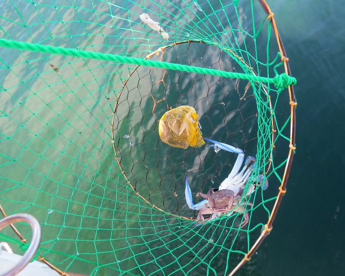 blue swimmers in the net