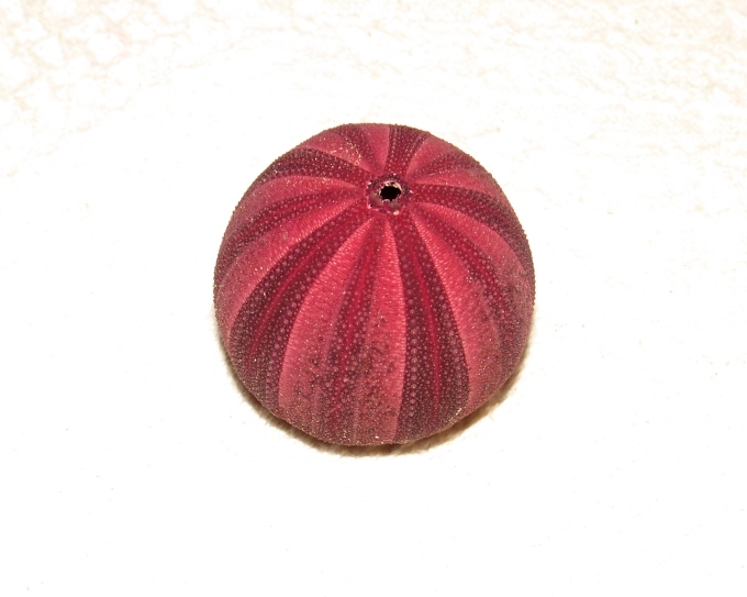 purple urchin
