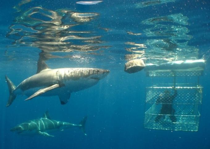 calypso star shark cage