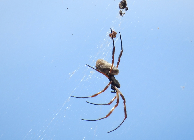 streaky bay spider