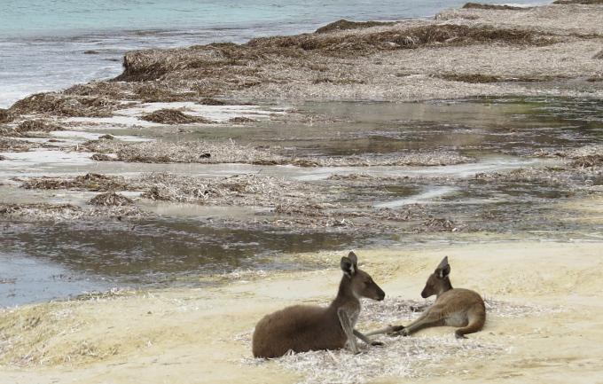 sunbathing kangaroos