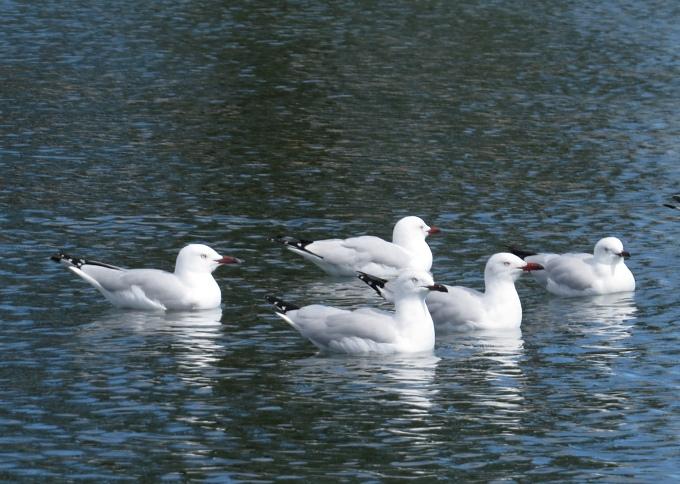 seagull flotilla
