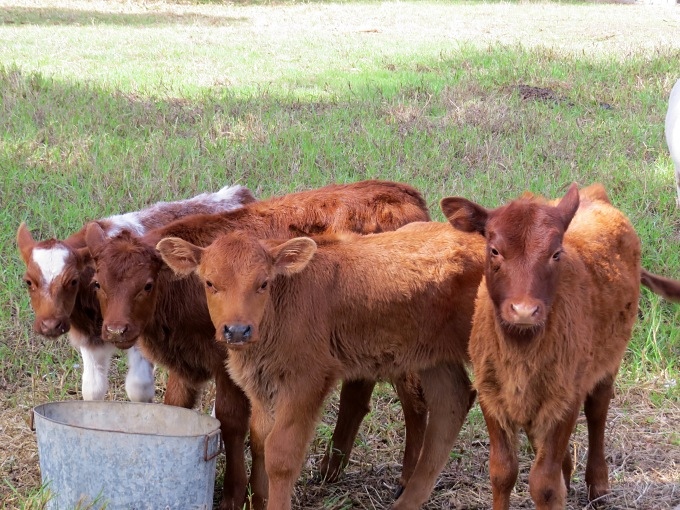 orphaned calves