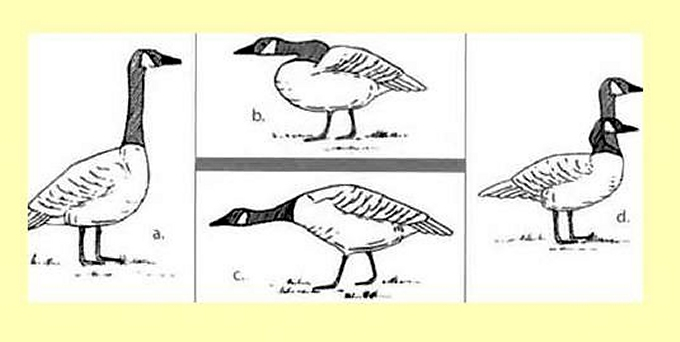goose behavior chart