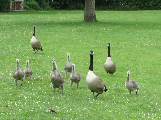 here come the geese