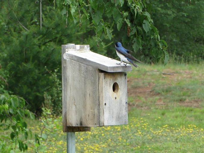 awallow on bird house