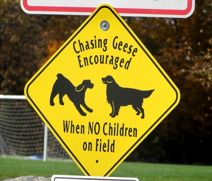 chasing geese encouraged