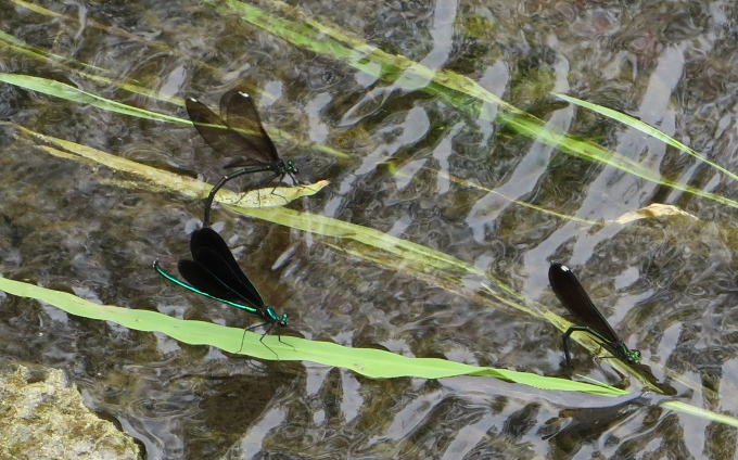 ebony jewelwing male and female