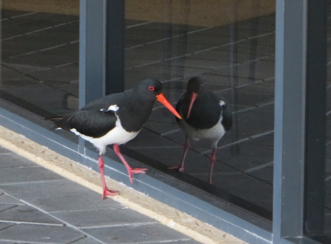 oystercatcher and his reflection