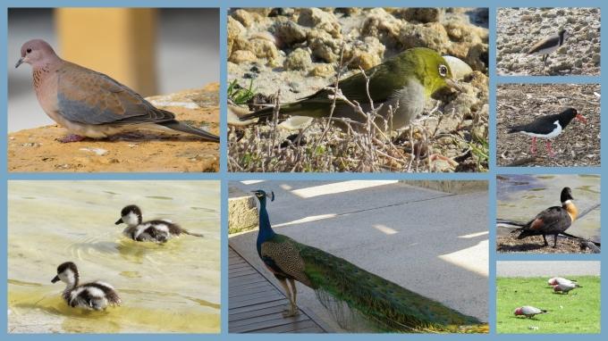 rottnest island birds
