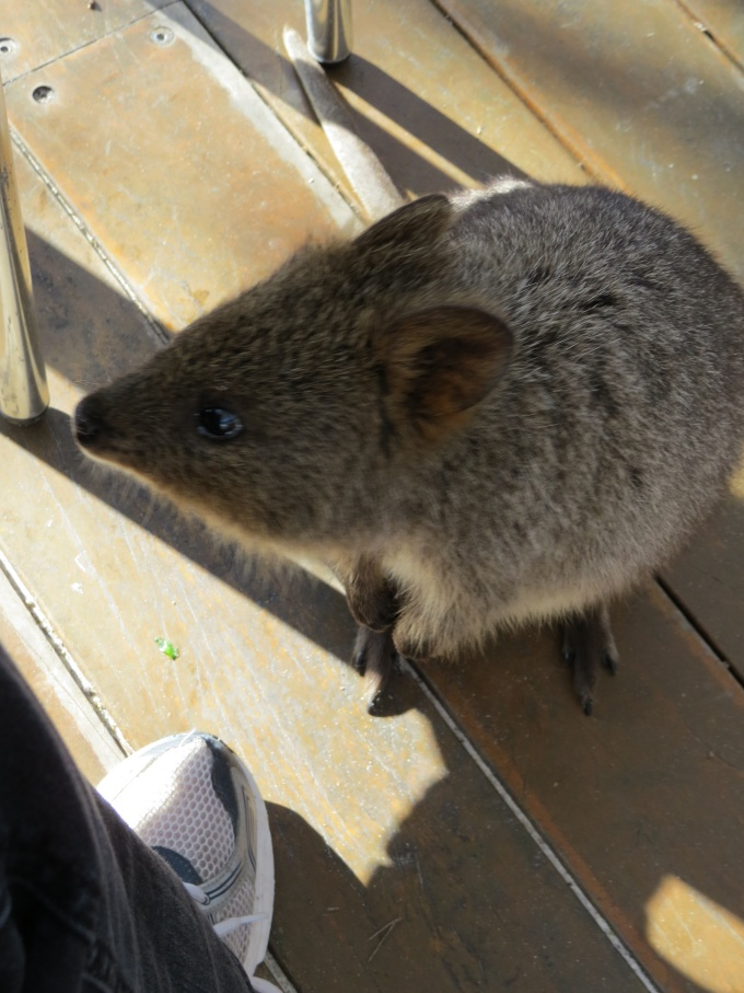 quokka under our feet