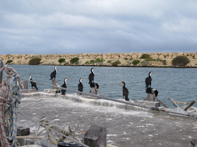 cormorants on the dock