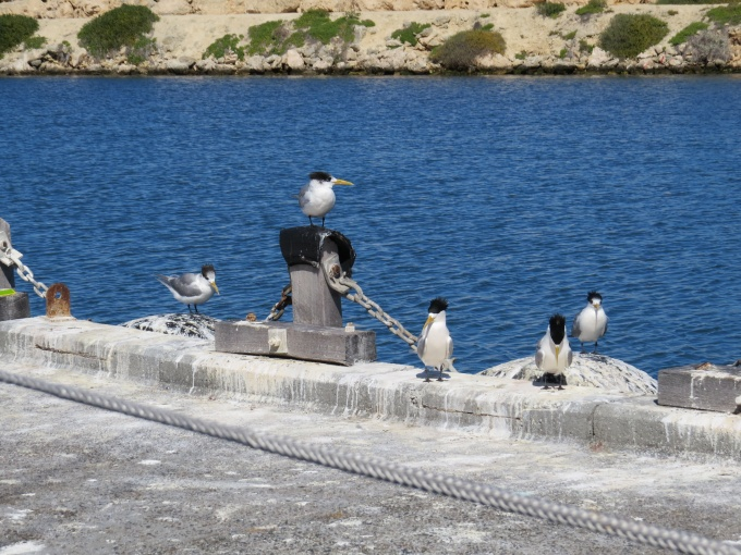 crested terns on dock