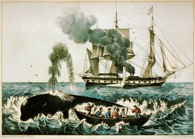 attacking a right whale