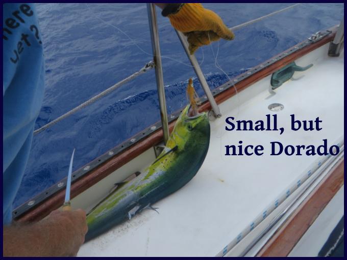 small and nice dorado