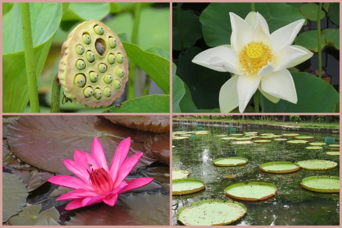 lilies and lotus