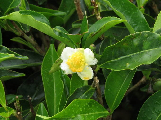 tea leaves and flower at bois cheri