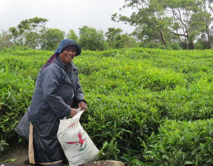 bois cheri tea picker