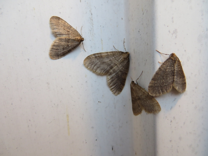 winter moths in boston